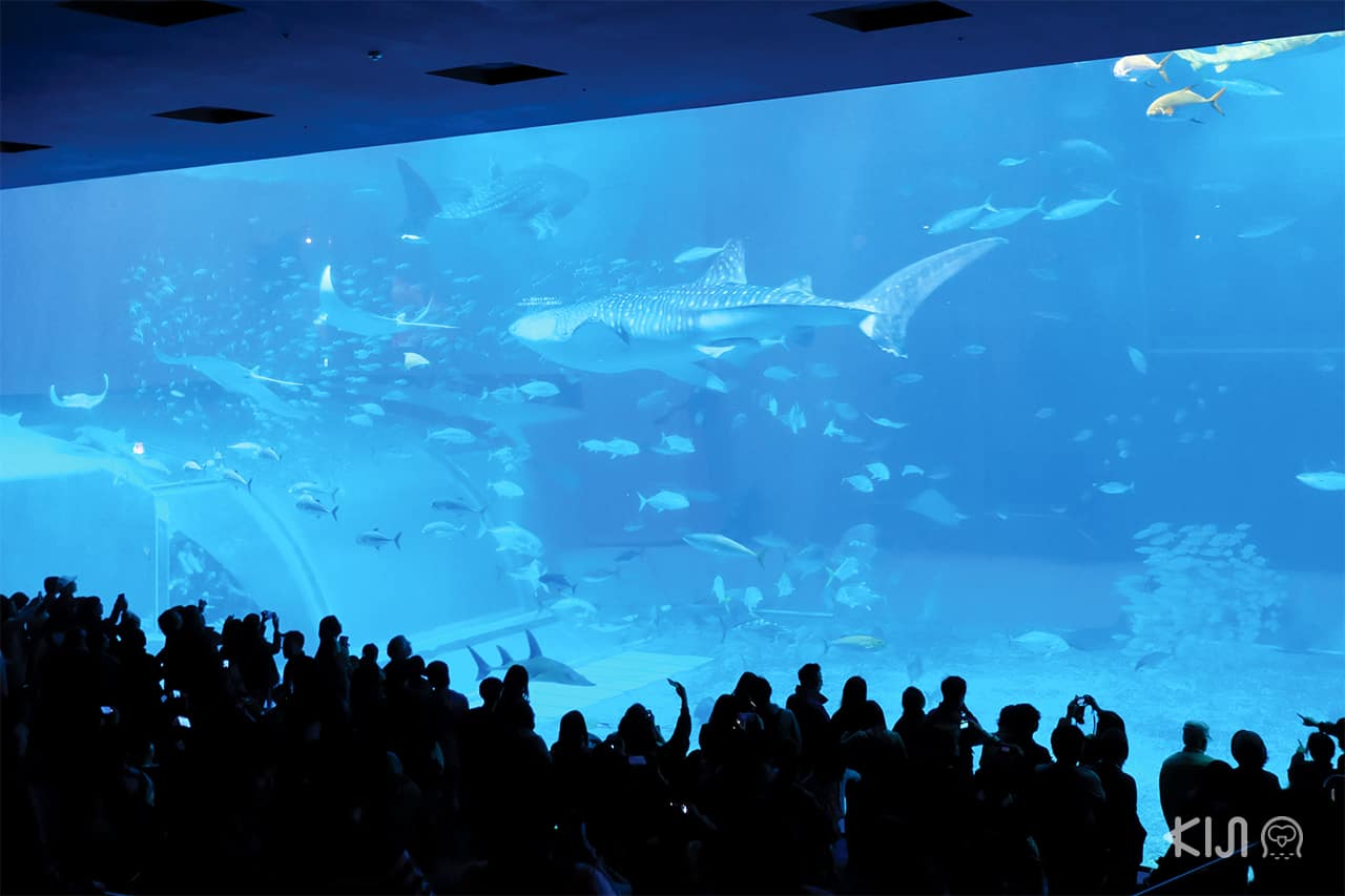 Churaumi Aquarium อควาเรียม ขนาดใหญ่ที่โอกินาว่า