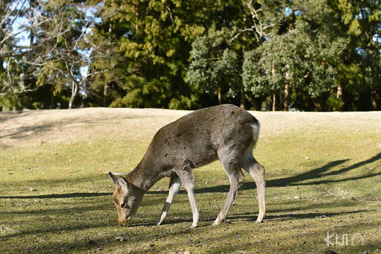 สวนสาธารณะนารา สวนกวางนารา nara park