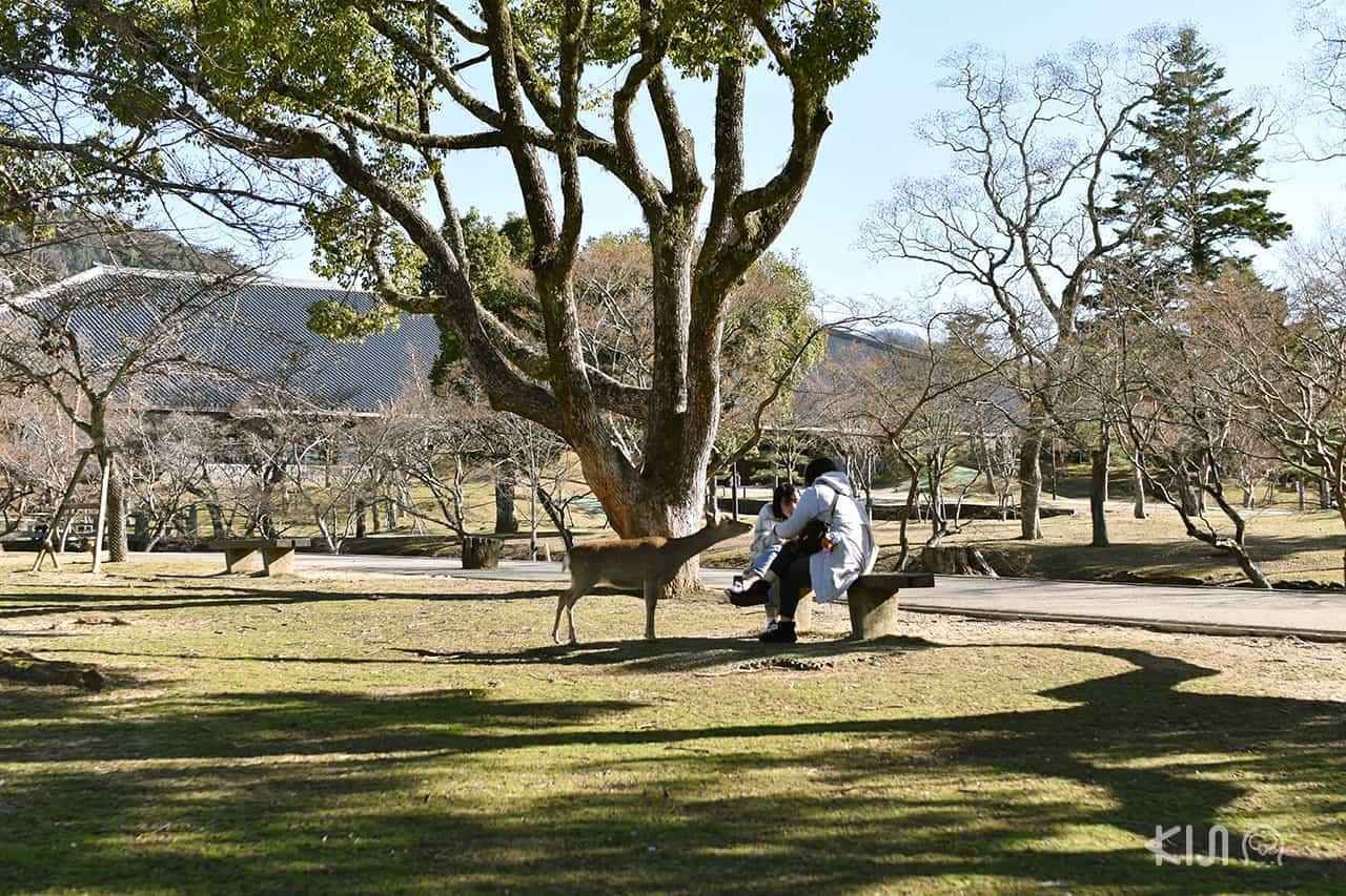 ป้อนขนมกวางที่สวนสาธารณะนารา (Nara Park)