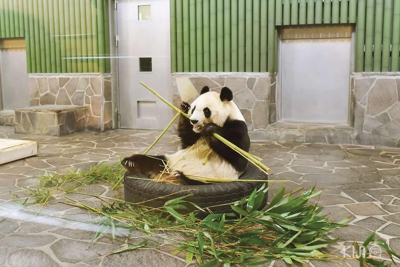 หมีแพนด้า ที่สวนสัตว์ Kobe Oji Zoo ที่ เที่ยวโกเบ ฝั่งตะวันออก (East Kobe)