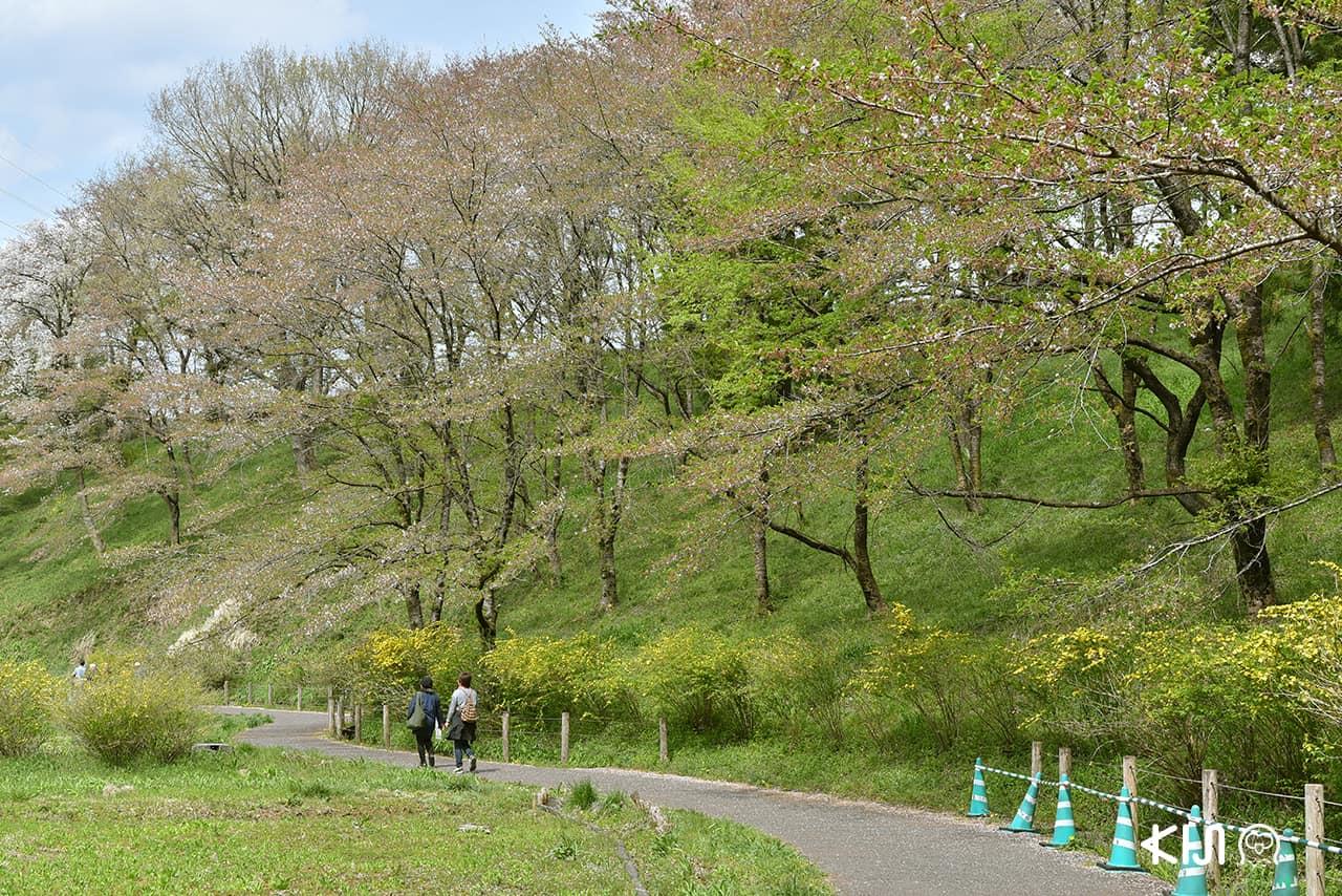 ระหว่างทางเดินไปยังเนินดอกชิบะซากุระในสวน Hitsujiyama Park