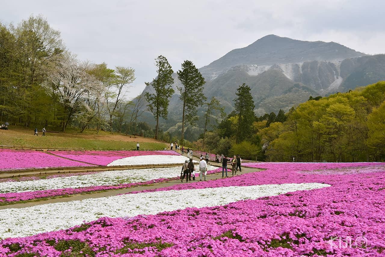สวนฮิสึจิยามะ (Hitsujiyama Park) โอบล้อมไปด้วยป่าไม้และภูเขาเขียวขจีของเดือนเมษายน