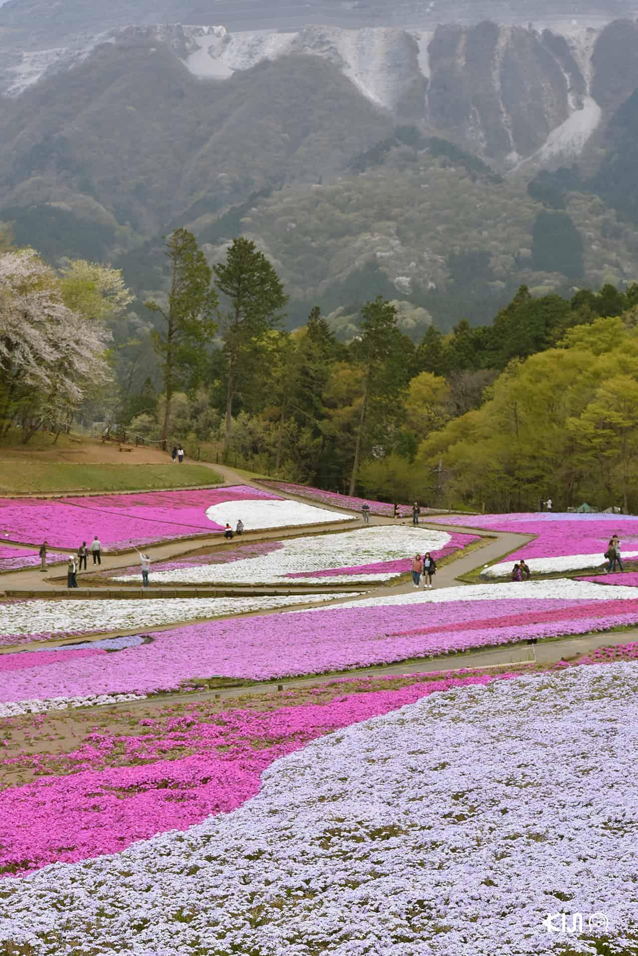 Shibazakura no oka (芝桜の丘) เนินดอกชิบะซากุระในสวนฮิสึจิยามะ (Hitsujiyama Park)