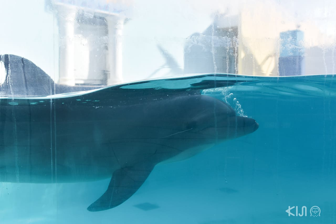 dolphin in Suma Aqualife Park, โกเบ ตะวันตก อากาชิ ฮิเมจิ