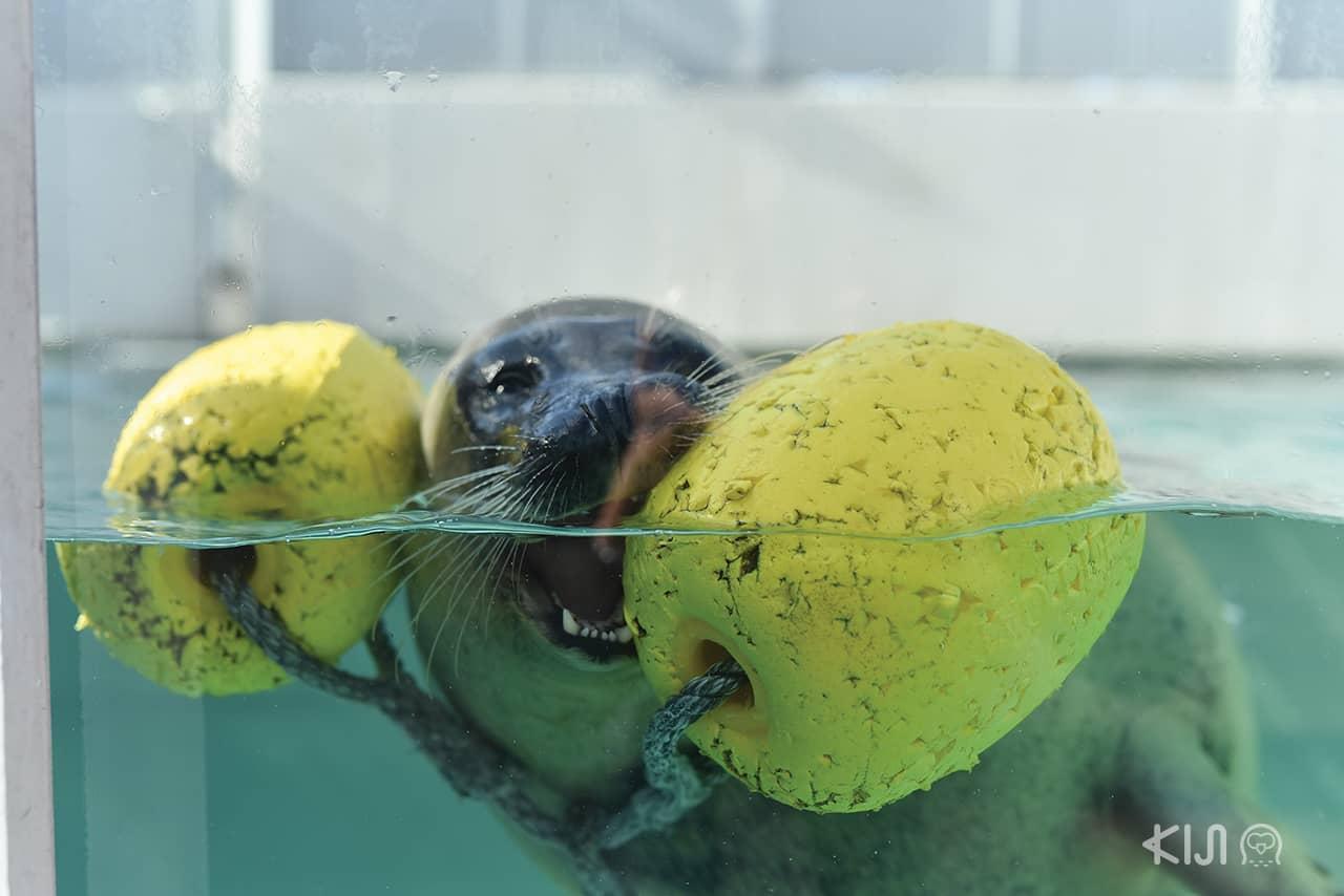 น้องแมวน้ำ Suma Aqualife Park โกเบ ตะวันตก