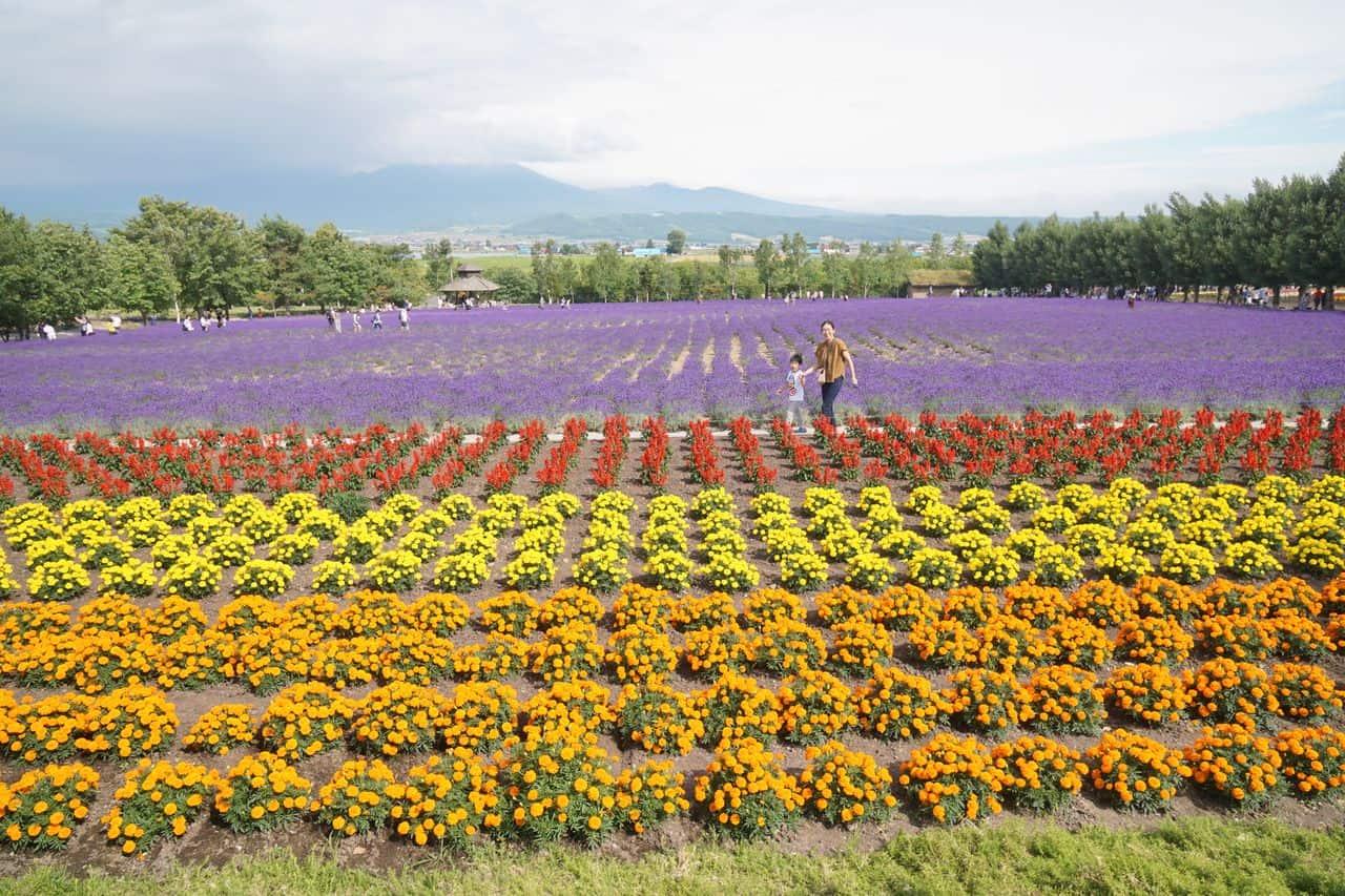 ฟาร์มโทมิตะ ทุ่งดอกไม้ และ ทุ่งลาเวนเดอร์ ฮอกไกโด