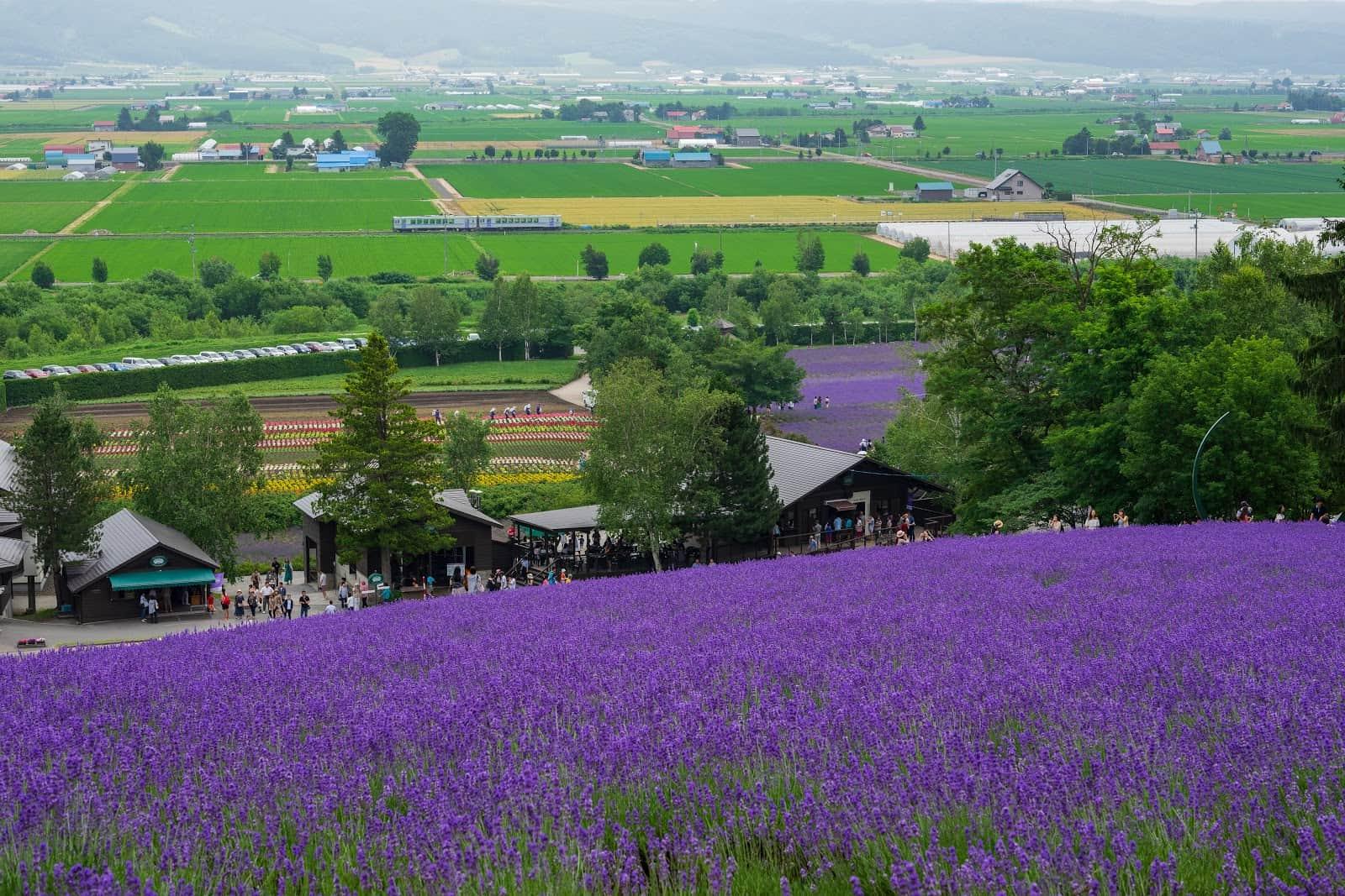 Farm Tomita ทุ่งลาเวนเดอร์ ในเมืองฟูราโน่ที่ฮอตฮิตที่สุดใน ฮอกไกโด