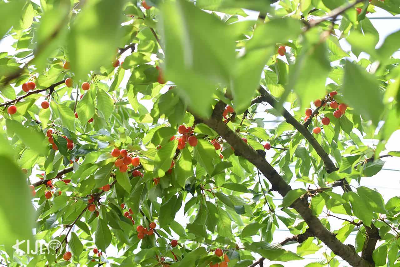 ฤดูกาลเชอร์รี่ที่ Ohsyo Fruits Farm