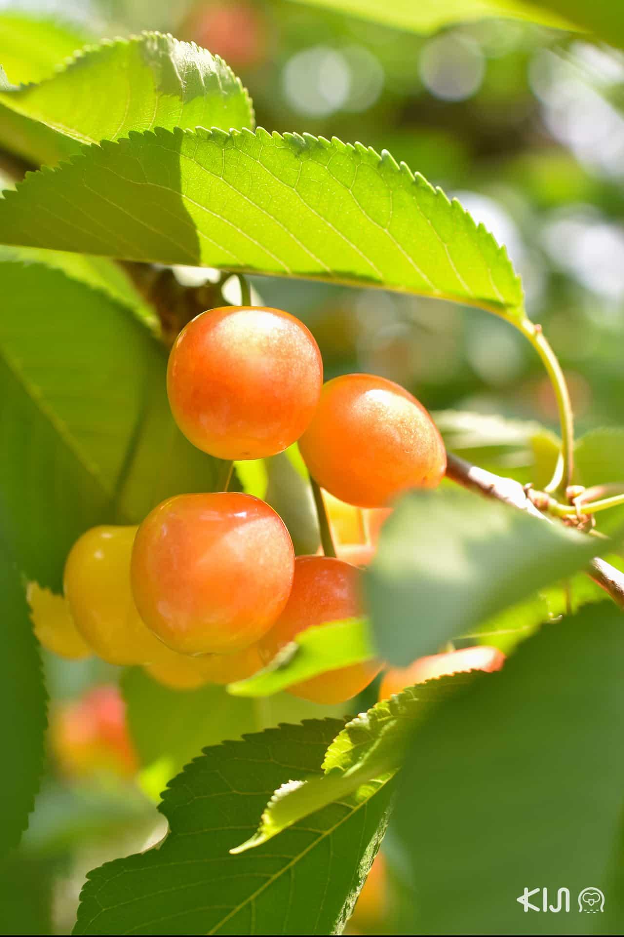 เก็บเชอร์รี่ที่ Ohsyo Fruits Farm