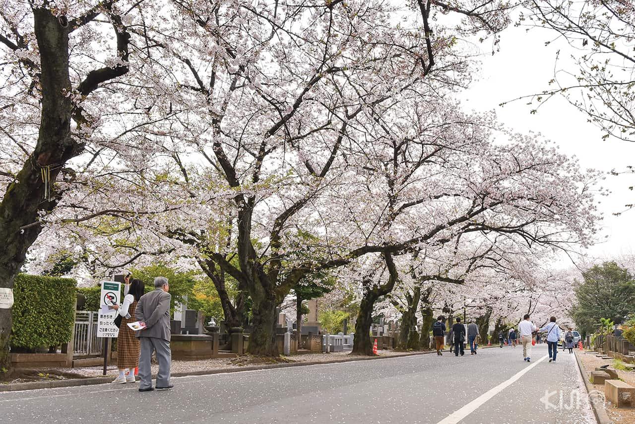 ถนนสายซากุระด้านหน้าวัด Tennoji Temple