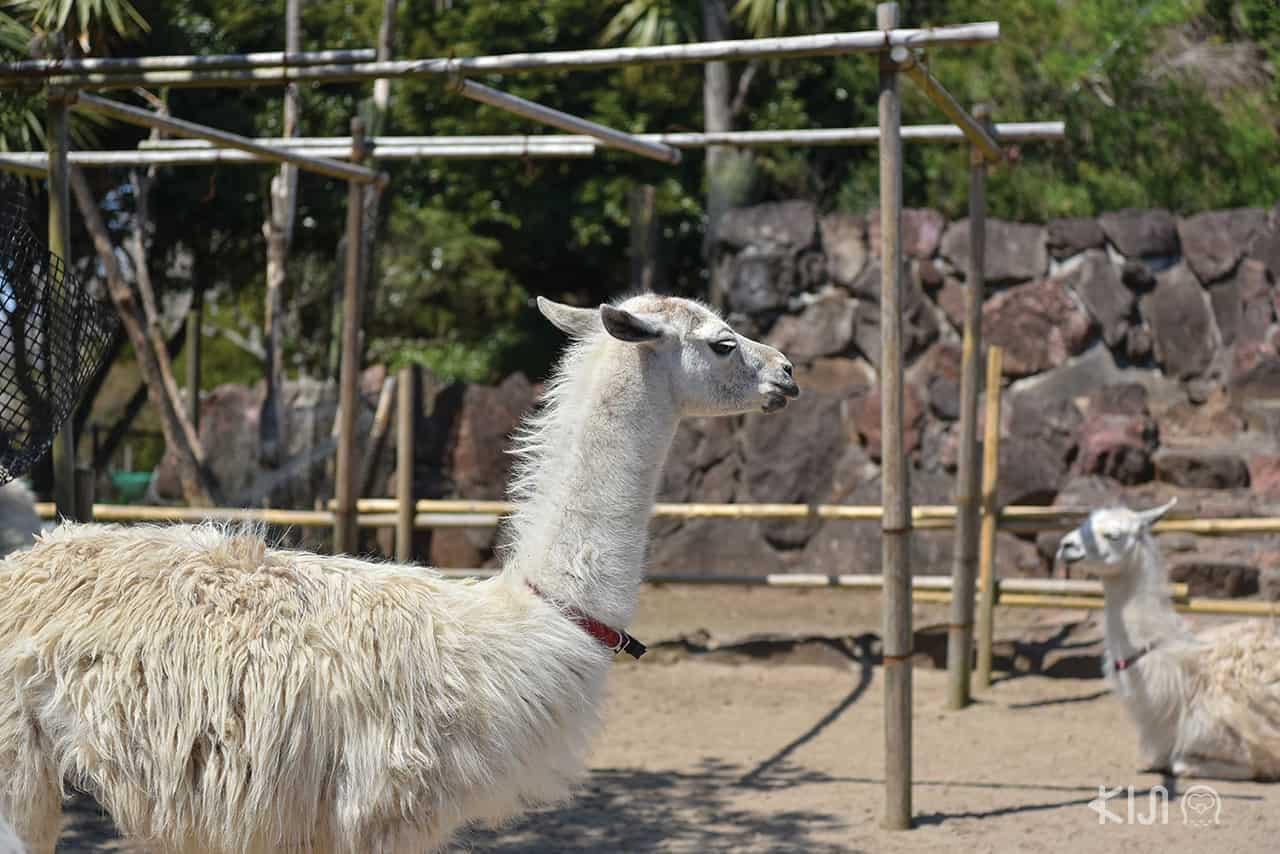 อัลปาก้าในสวนสัตว์อิซุชาโบเท็น (Izu Shaboten Zoo)