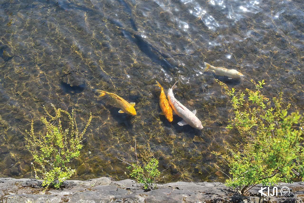 เมืองอิโต (Ito) จ.ชิซูโอกะ (SHIZUOKA) - ปลาในทะเลสาบอิปเปกิ (Lake Ippeki)
