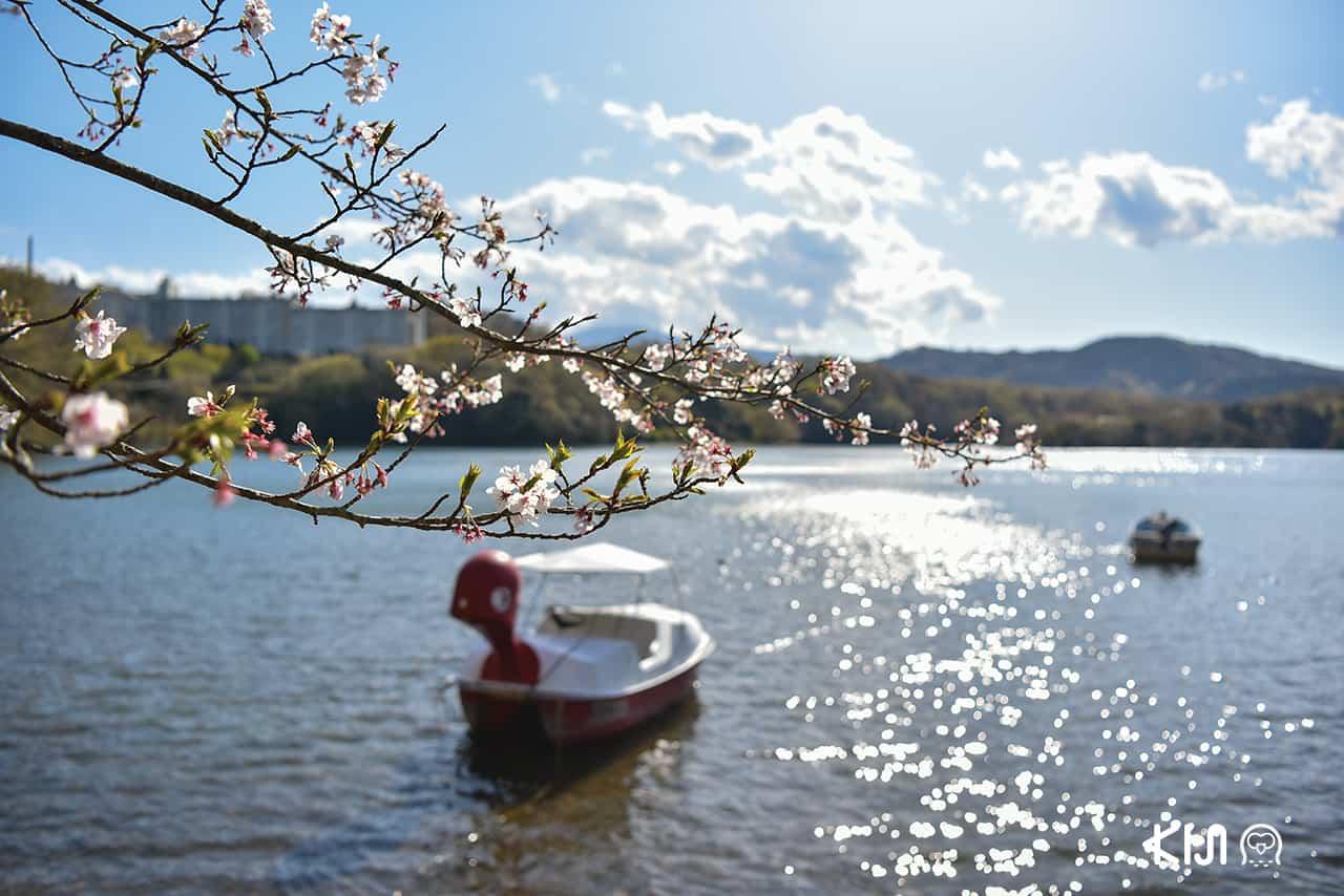 เมืองอิโต (Ito) จ.ชิซูโอกะ (SHIZUOKA) - ทะเลสาบอิปเปกิ (Lake Ippeki) ช่วงซากุระ
