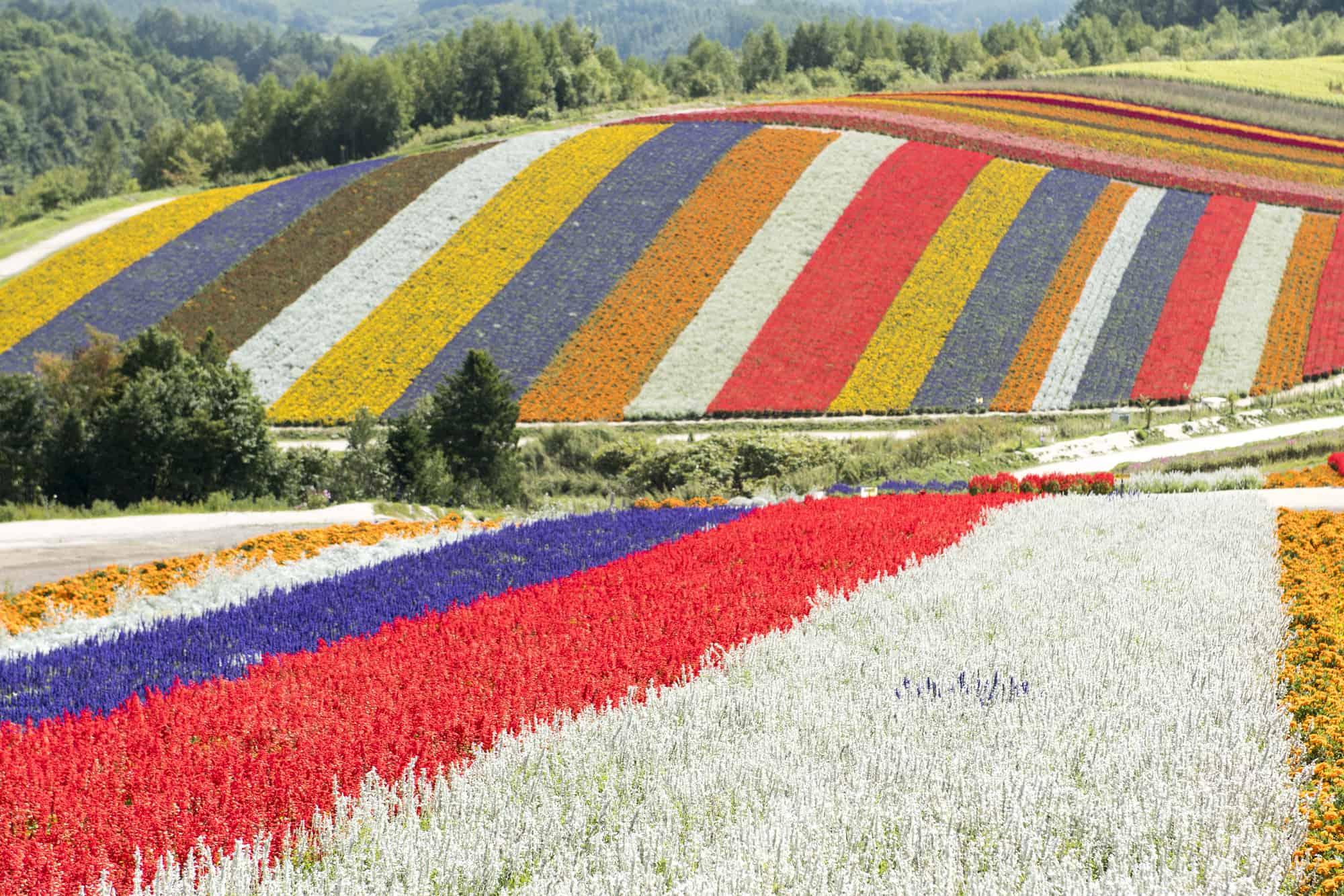 ทุ่งดอกไม้หลากสีที่ Shikisai-no-oka ในฮอกไกโด