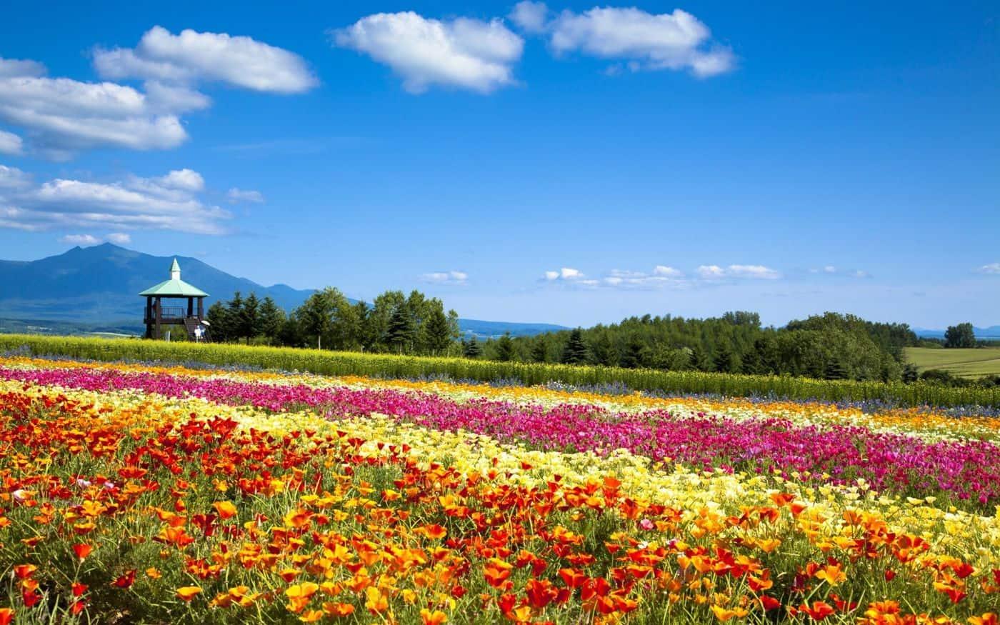 ดอกไม้หลากสีสันที่ Flower Land Kamifurano ฮอกไกโด