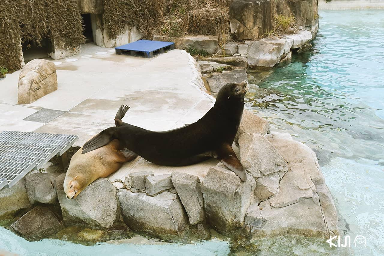 แมวน้ำ ที่ สวนสัตว์โกเบโอจิ Kobe Oji Zoo