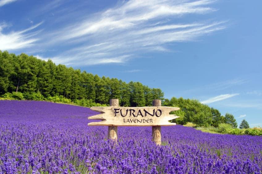 Hokkaido Rail Pass : Furano ทุ่งลาเวนเดอร์ ฮอกไกโด
