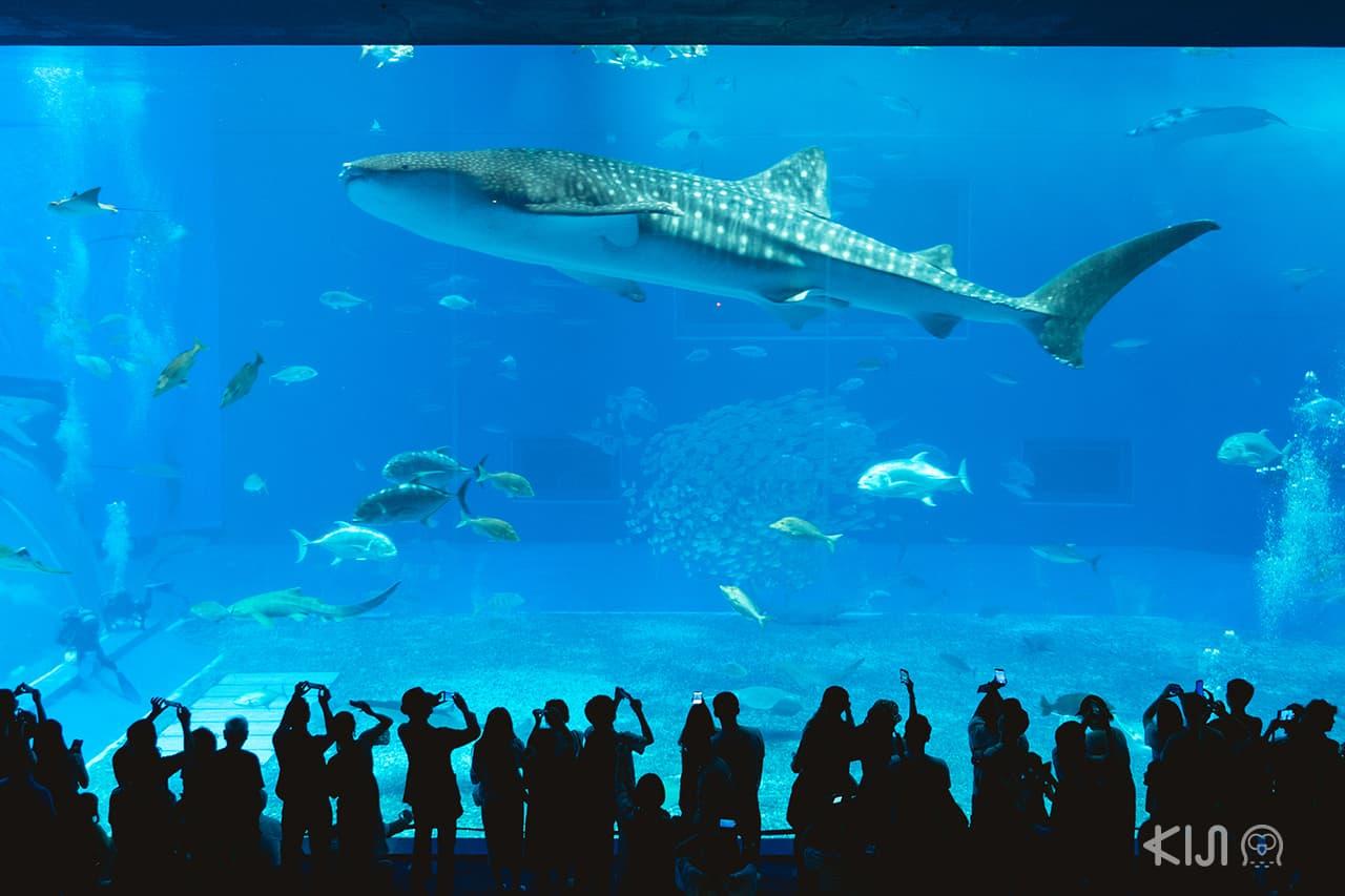 เที่ยว โอกินาว่า (Okinawa) - Okinawa Churaumi Aquarium พิพิธภัณฑ์สัตว์น้ำชูราอุมิ