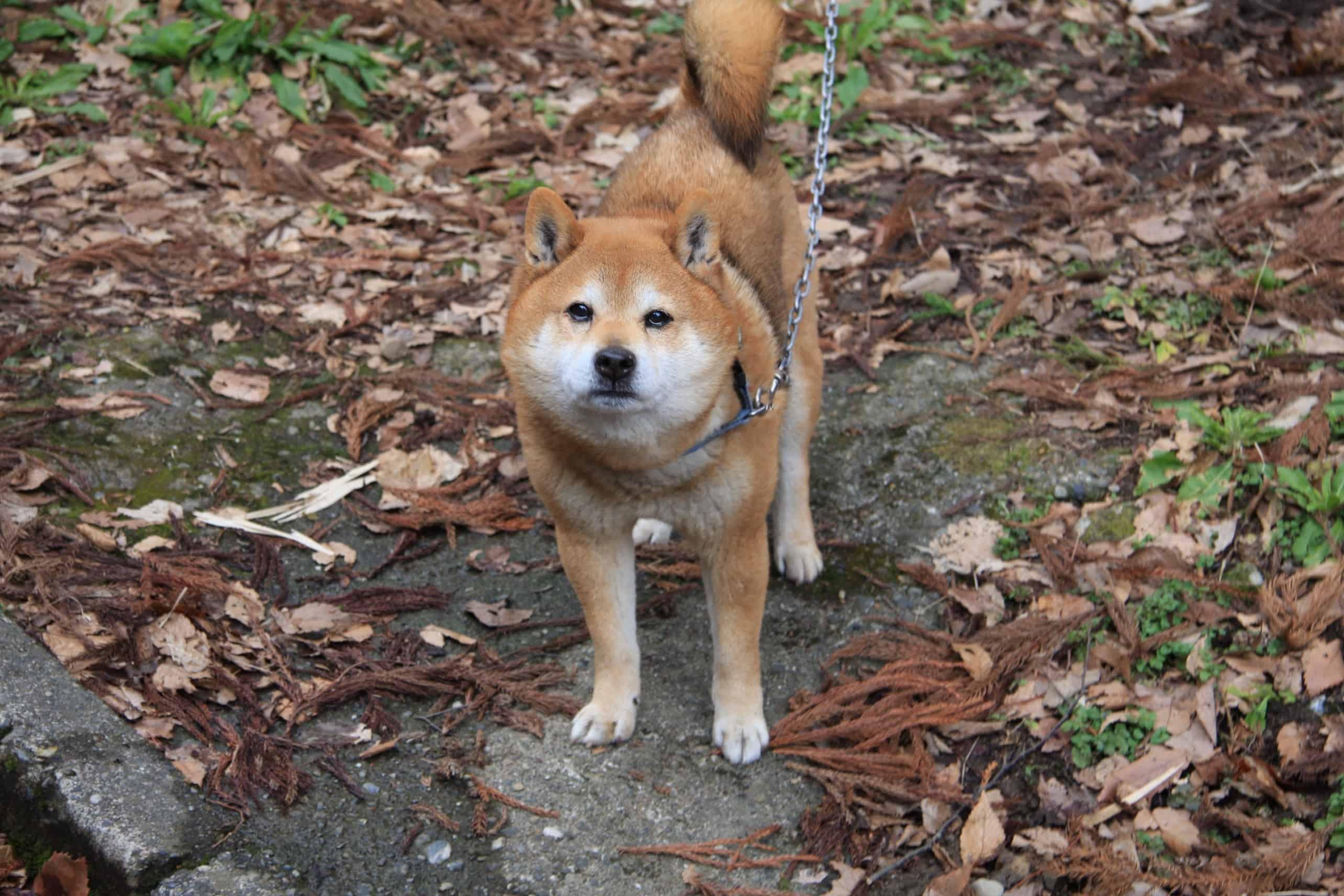 อาคิตะอินุโนะซาโตะ (Akita Inu no Sato / Akita Dog Visit Center : 秋田犬の里)