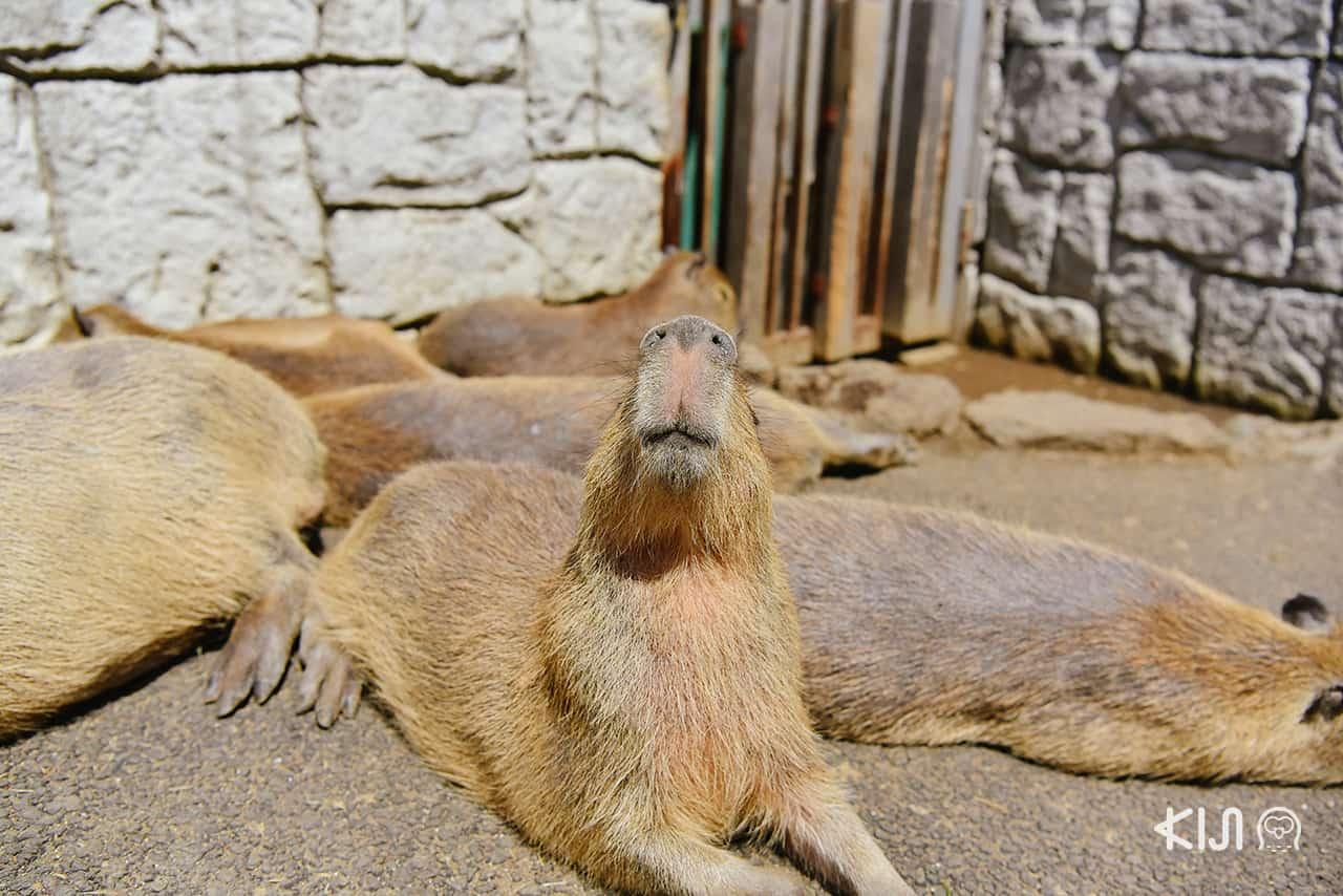 Izu Shaboten Zoo คาปิบาร่า