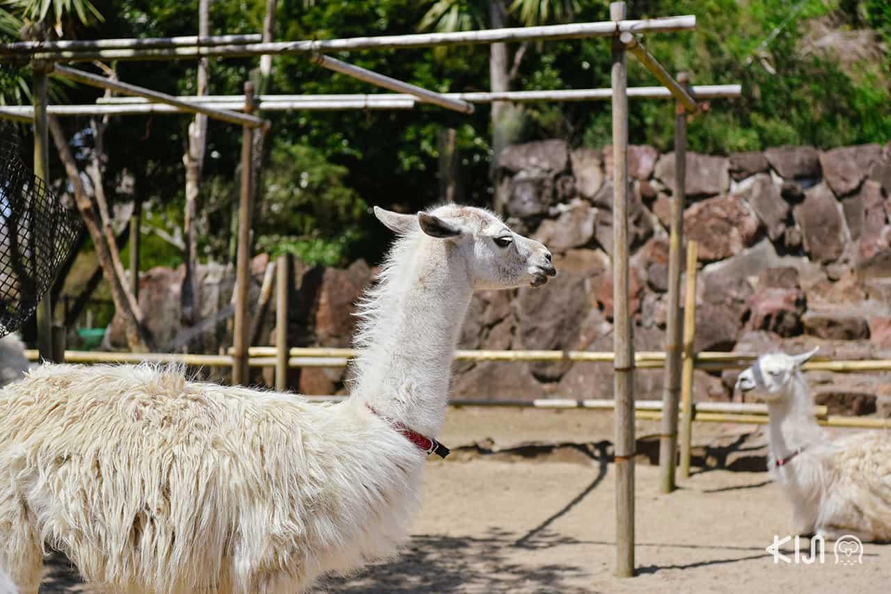Izu Shaboten Zoo อัลปาก้า