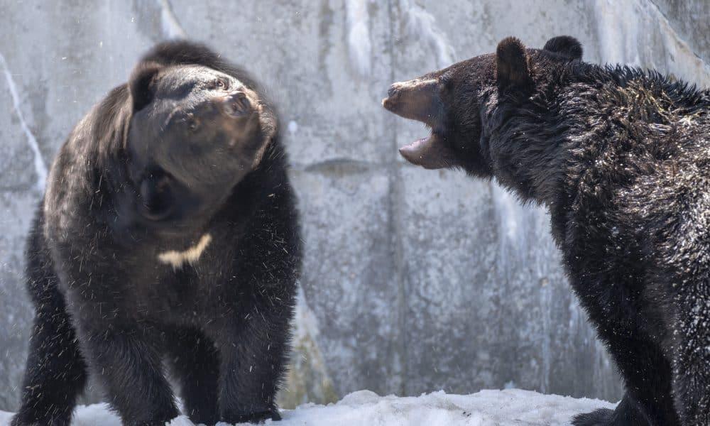 ชมหมีควายสีดำ ที่ สวนหมีคุมะคุมะพาร์ค (Kuma Kuma Park)