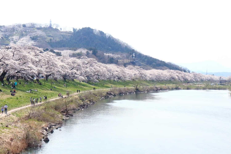 จุดชม ซากุระ ใน โทโฮคุ - ฮิโตะเมะเซ็มบงซากุระ