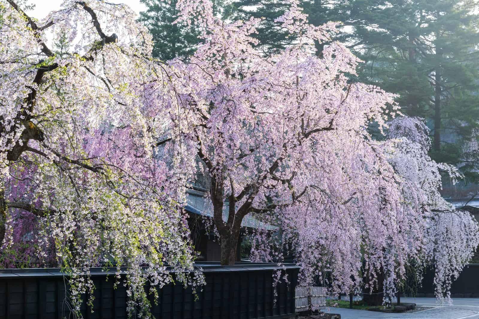 ซากุระ โทโฮคุ JR East Pass Tohoku Area - หมู่บ้านซามูไรคาคุโนะดาเตะ