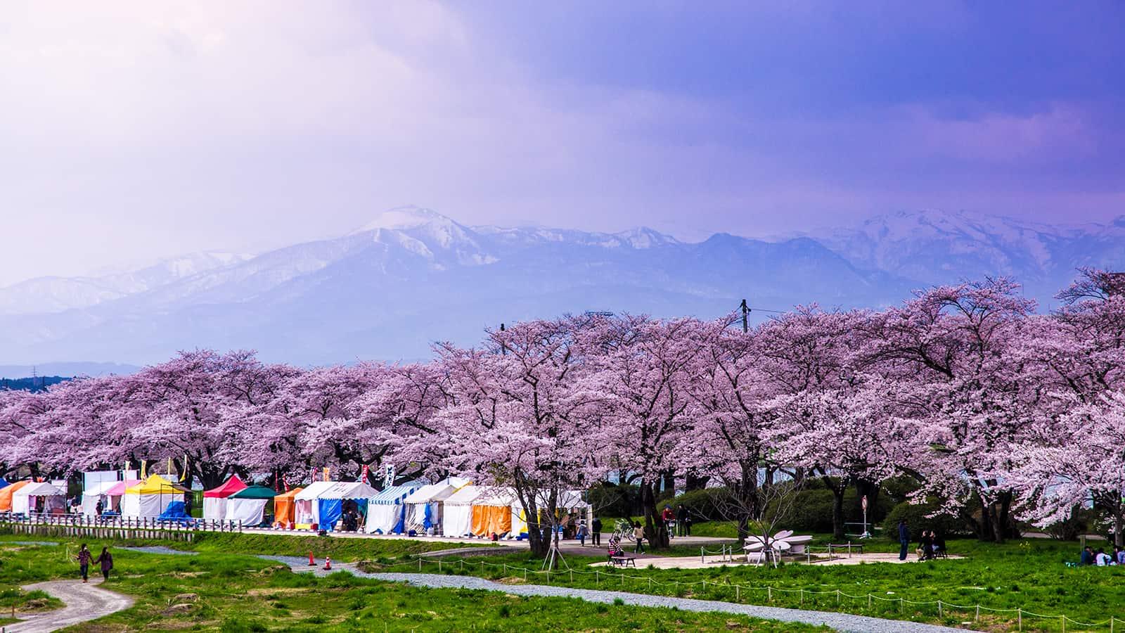 จุดช ซากุระ โทโฮคุ - สวนคิตะคามิ เท็นโชจิ (Kitakami Tenshochi Park)