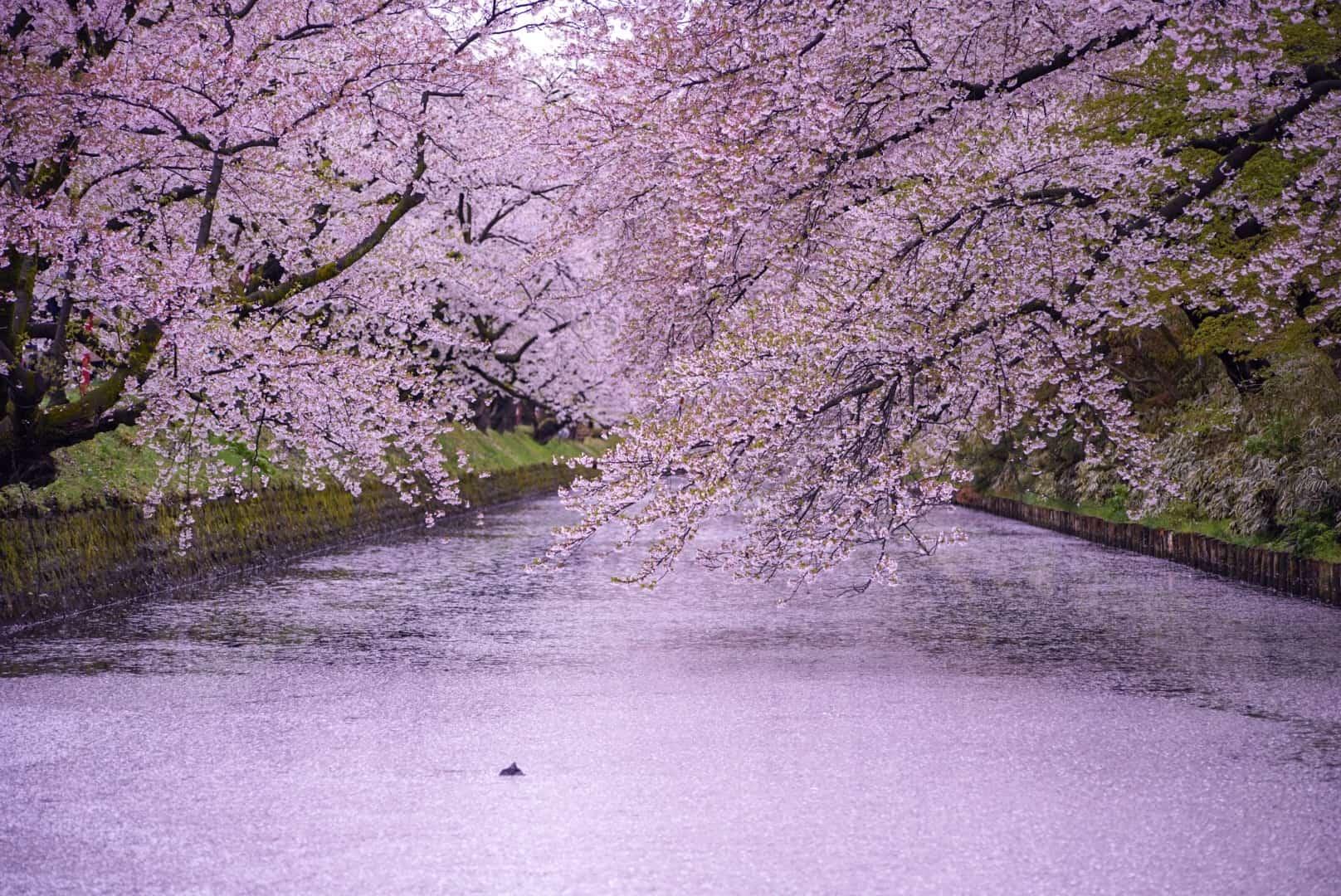 สถานที่ชม ซากุระ โทโฮคุ - สวนปราสาทฮิโรซากิ (Hirosaki Castle Park)