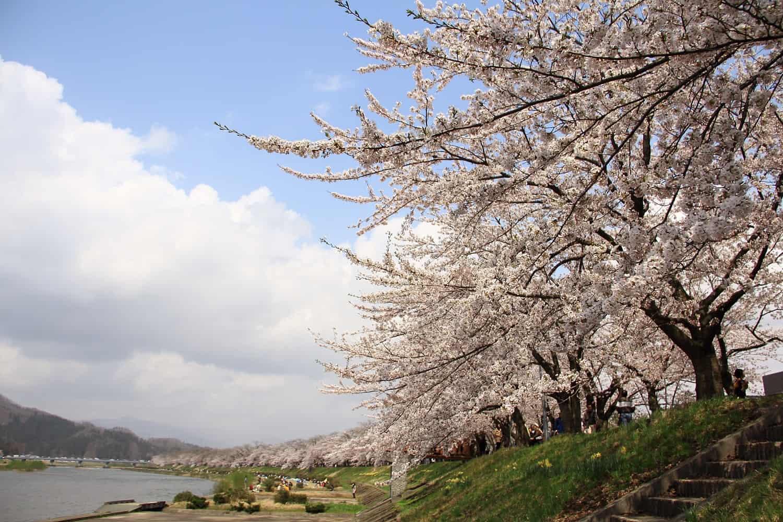 จุดชม ซากุระ โทโฮคุ - แม่น้ำฮิโนกิไน (Hinokinai River)