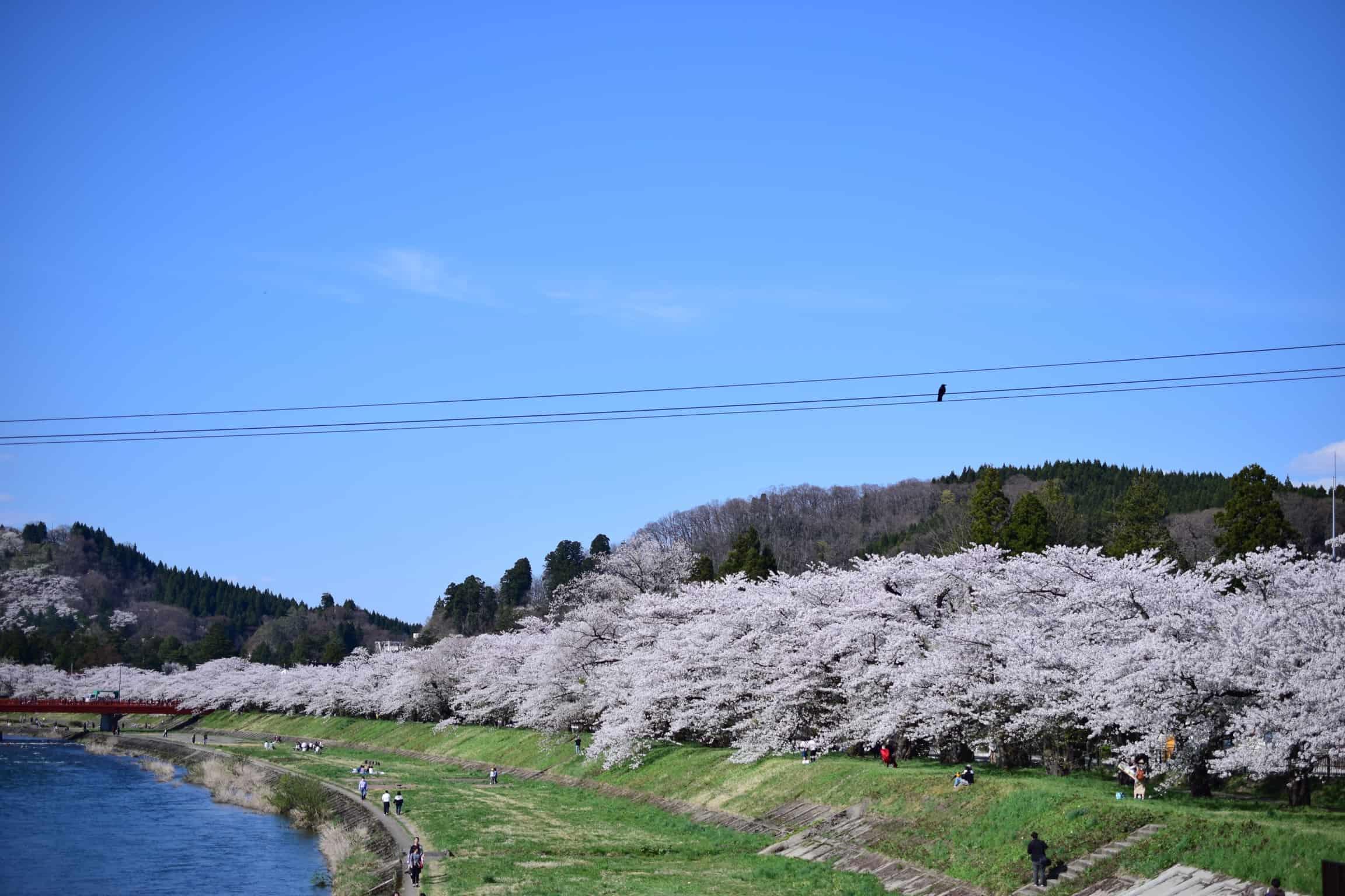 ซากุระ โทโฮคุ - แม่น้ำฮิโนกิไน (Hinokinai River)