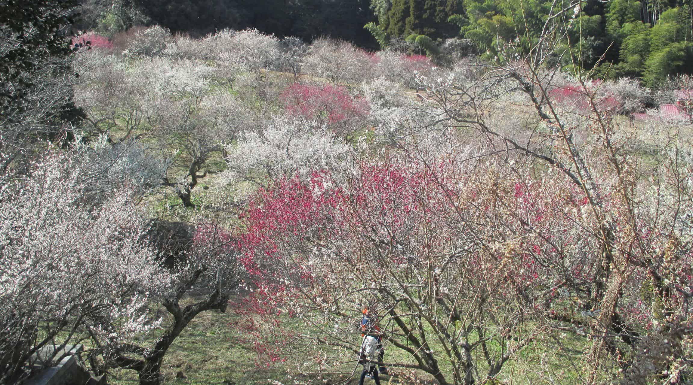 สวนดอกบ๊วยมิฟุเนะกาโอกะ (Mifunegaoka Plum Garden)