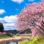 Kawazu-cherryblossom