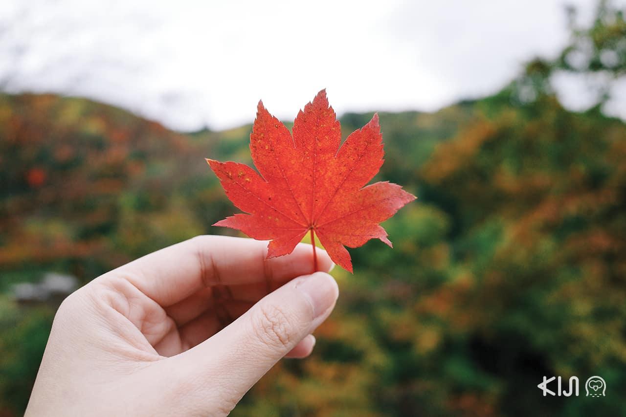 หุบเขาโอยาสุ (Oyasu Valley) ฤดูใบไม้เปลี่ยนสี