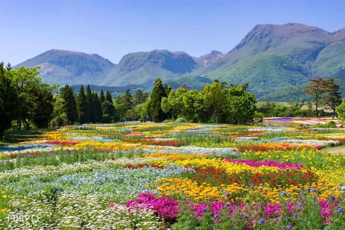 เที่ยว โออิตะ (Oita) - สวนดอกไม้คูจูฮานะ (Kujuhana Park)