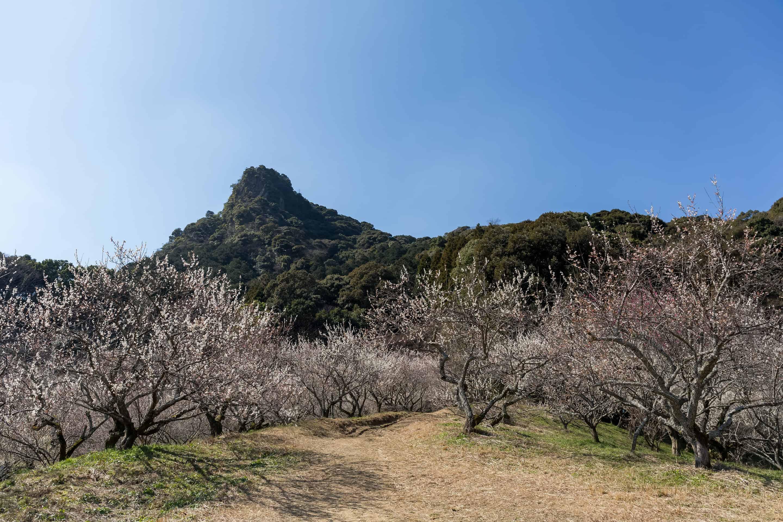 ชมดอกบ๊วยที่มิฟุเนะกาโอกะ (Mifunegaoka Plum Garden)