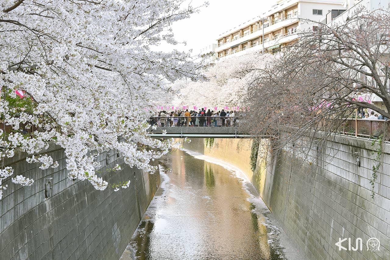 จุดชมซากุระ โตเกียว - นากาเมกุโระ (Nakameguro)