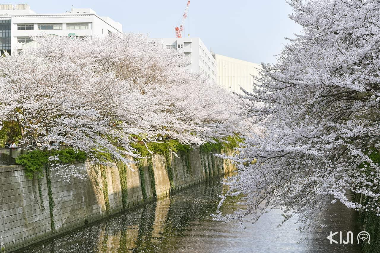 จุดชมซากุระ โตเกียว - Naka-meguro