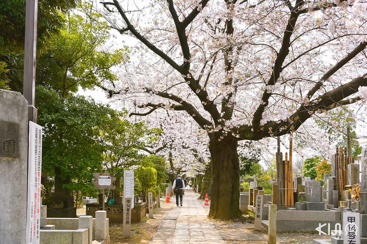 จุดชมซากุระ โตเกียว - วัดเท็นโนจิ