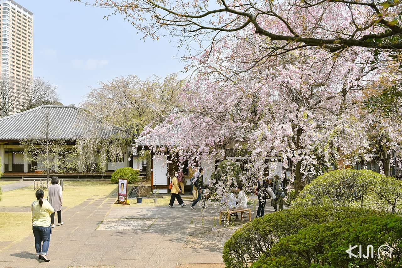 จุดชมซากุระในโตเกียว - วัดเท็นโนจิ (Tennoji Temple)