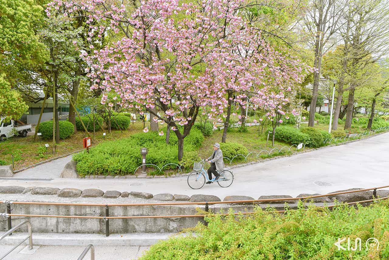 จุดชมซากุระ โตเกียว - ริมแม่น้ำสุมิดะ (Sumida River)