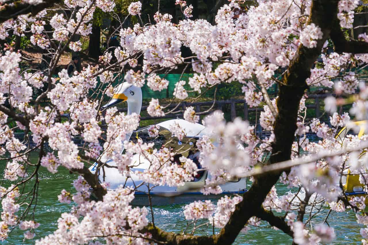 จุดชมซากุระ โตเกียว - สวนอิโนะคาชิระ (Inokashira Park)