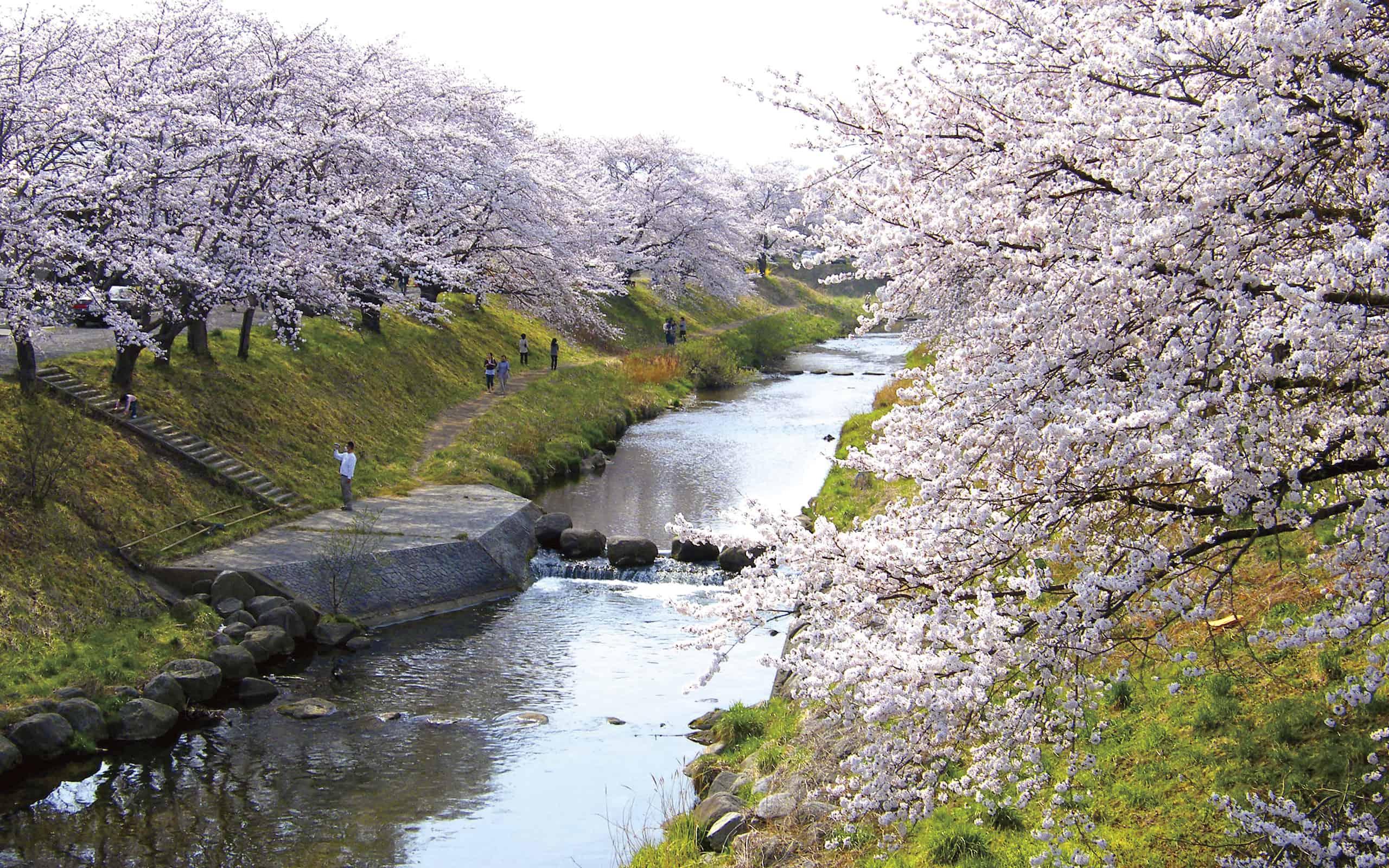 ชมทิวต้น ซากุระ (Sakura) ที่แม่น้ำโทดะ โคริยามะ ฟุกุชิมะ ผ่าน Live Camera
