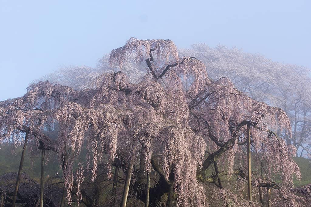 "Miharu Takizakura ""ซากุระ"" อายุกว่า 1,000 ปี ตั้งอยู่ที่จังหวัดฟุกุชิมะ ญี่ปุ่น"
