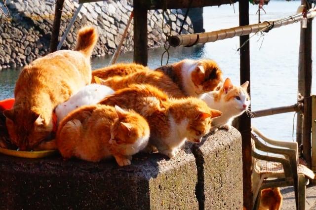 เกาะ แมว ญี่ปุ่น : เกาะอาโอชิมะ จังหวัดเอฮิเมะ (Aoshima, Ehime)