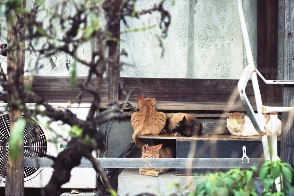 สถานที่ที่มี แมว ใน ญี่ปุ่น : เกาะโอกิจิมะ จังหวัดคางาวะ (Okijima, Kagawa)
