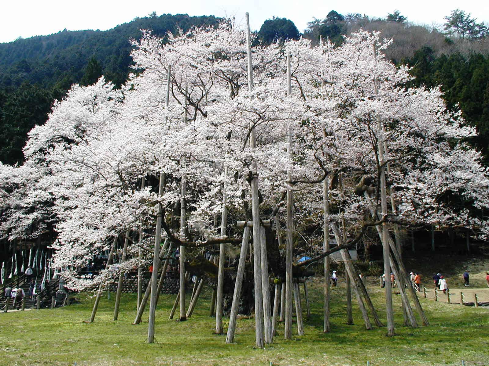 """Usuzumizakura 1 ใน ต้น """"ซากุระ"""" ที่ใหญ่ที่สุดใน """"ญี่ปุ่น"""""""