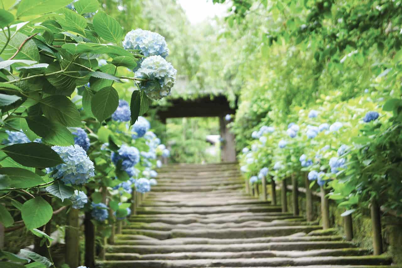 เดินชมดอกไฮเดรนเยียที่ Meigetsuin Temple