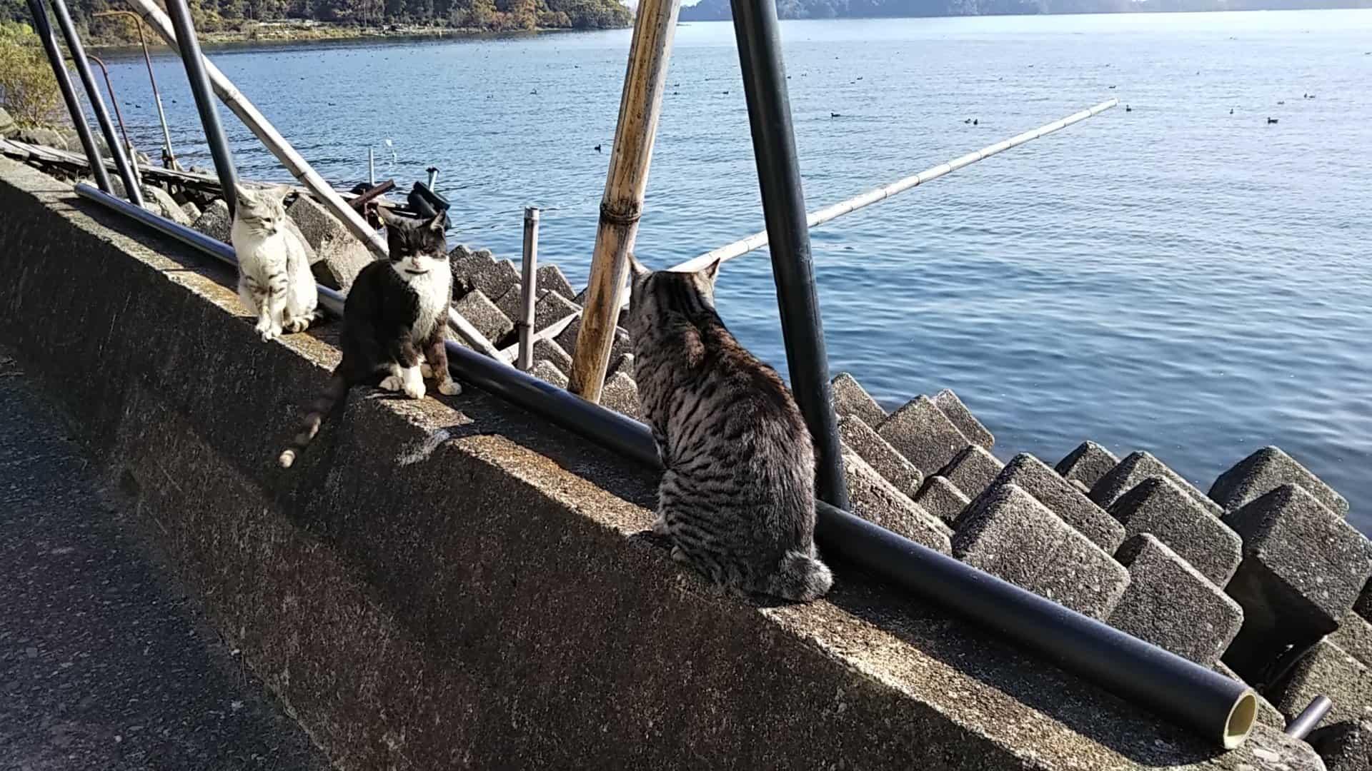 เกาะ แมว ญี่ปุ่น : เกาะโอคิชิมะ จังหวัดชิกะ